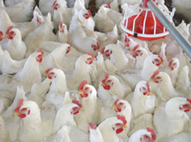 Poultry and Animal Farms